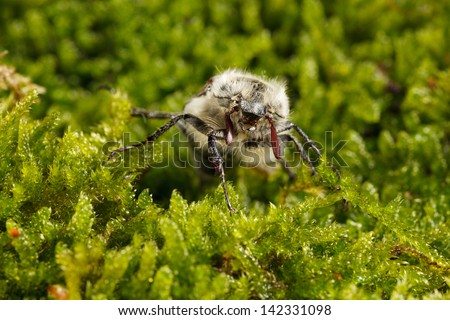 Macro of cockchafer bug (Melolontha melolontha) in green moss  - stock photo