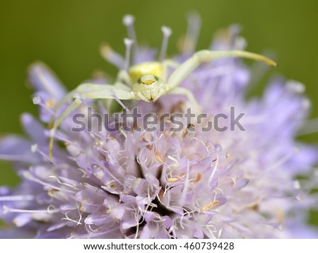 Macro of crab spider (Misumena vatia) on knautia flower seen from front