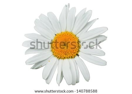 Macro of daisy flower isolated on white background  - stock photo