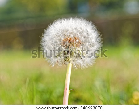 Macro of dandelion against green grass land.