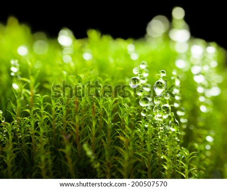 Macro of dew drops on moss isolated on black background