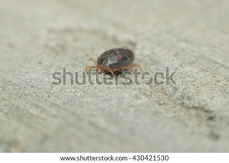 Macro of dog ticks (Haemaphysalis longicornis) on the ground it dangerous for your pet