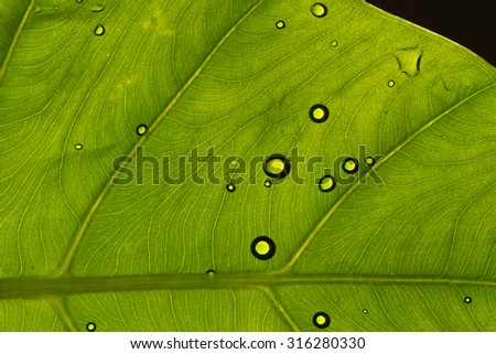 macro of droplets on leaf, shoot from under with back light