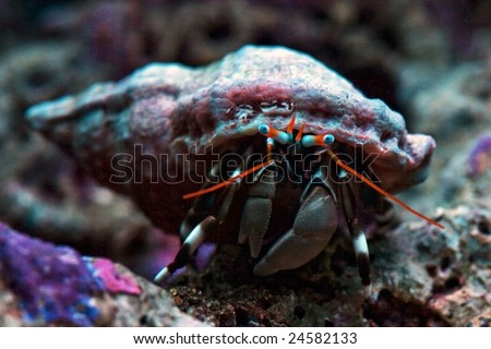 Macro of Dwarf Zebra Hermit Crab - Calcinus Laevimanus - stock photo
