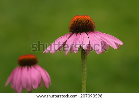 macro of echinacea purpurea or purple coneflower against green out of focus background. a plant used for its medicinal antibacterial and antiviral properties. - stock photo