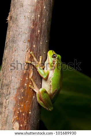 Macro of European tree frog Hyla arborea at night in natural environment - stock photo
