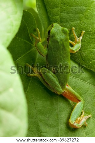Macro of European tree frog (Hyla arborea) climbing in natural environment - stock photo