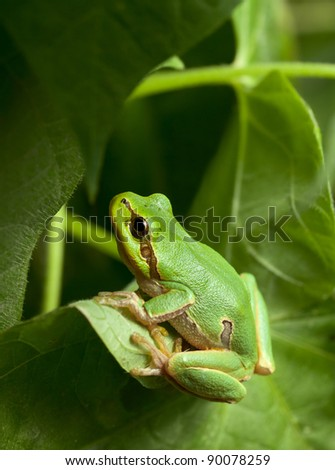 Macro of European tree frog (Hyla arborea) in natural environment