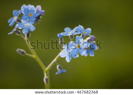Macro of forget-me-not blossoms, Myosotis