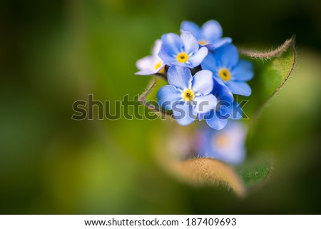 Macro of forget-me-not flower