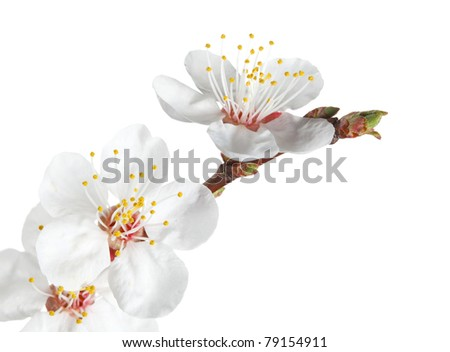 Macro of fruit-tree twig with flowers and bud isolated on white - stock photo