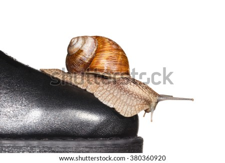 Macro of garden snail (Helix pomatia) climbing down from shoe toe isolated on white- slow delivery concept
