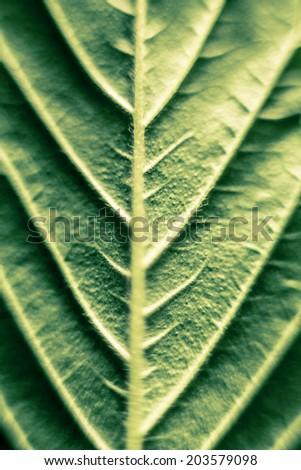 Macro of green Cannabis leaf. - stock photo