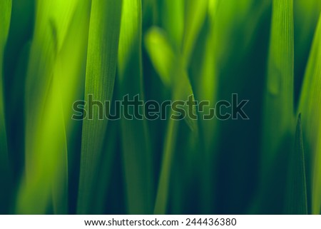 Macro Of Green Fresh Young Wheat - stock photo