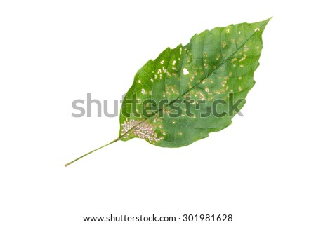 Macro of green leaf eaten by bugs isolated on white background - stock photo