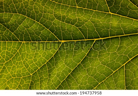 Macro of green leaf with veins highlighted - stock photo