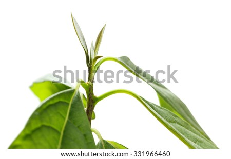Macro of growing avocado (Persea gratissima) plant isolated on white