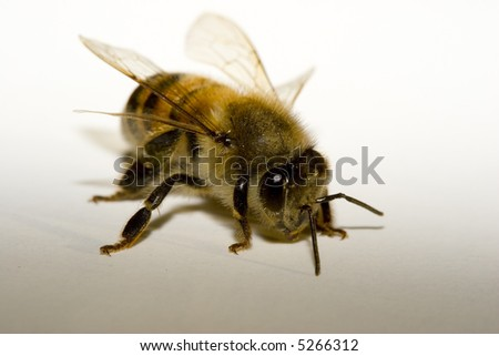 Macro of Honey Bee on a white-gray background