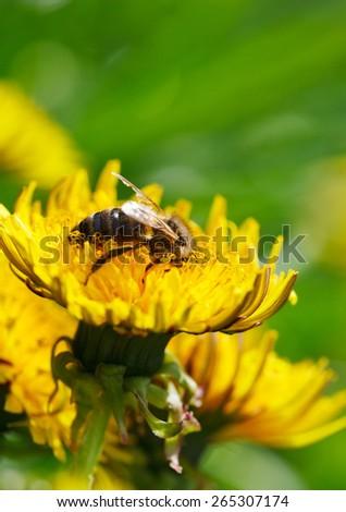 Macro of honeybee (Apis mellifera) on dandelion flowers at spring meadow - stock photo