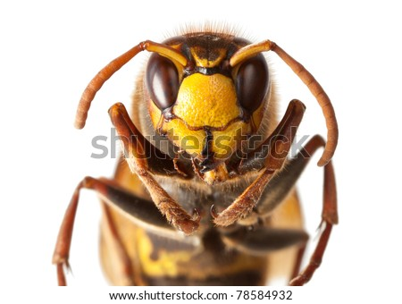Macro of hornet (Vespa crabro) isolated on white - stock photo