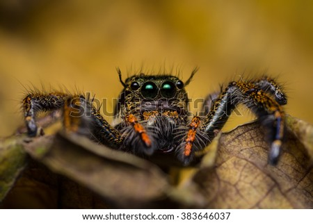 Macro of jumping spider on dry leaf.