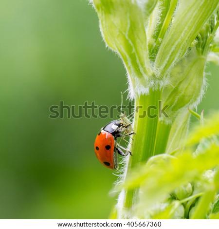 Macro of ladybug (Adalia bipunctata) eating aphids  - stock photo