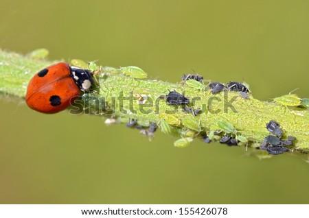 Macro of ladybug (Adalia bipunctata) eating aphids on stem - stock photo