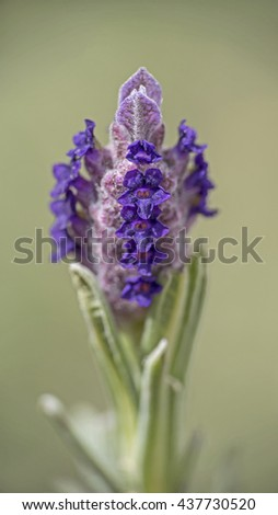 Macro of lavender flower on green background - stock photo