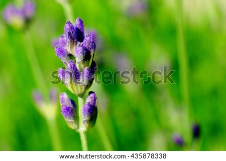Macro of lavender on green background - stock photo