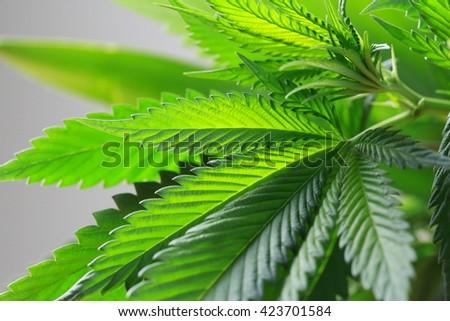 Macro of Marijuana green fresh large leafs ( cannabis), hemp plant.  - stock photo