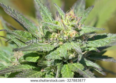 Macro of mature Cannabis flower at grow operation in Malaysia immediately prior to harvest. Trichomes and other microscopic structures are clearly visible and highly detailed at full resolution.