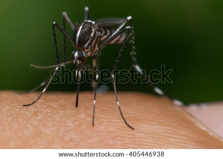 Macro of mosquito (Aedes aegypti) sucking blood close up on the human skin. Mosquito is carrier of Malaria, Encephalitis, Dengue and Zika virus - stock photo