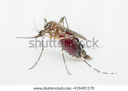 Macro of mosquito (Aedes aegypti) sucking blood close up on the human skin. Mosquito is carrier of Malaria, Encephalitis, Dengue and Zika virus,  isolated on white background - stock photo