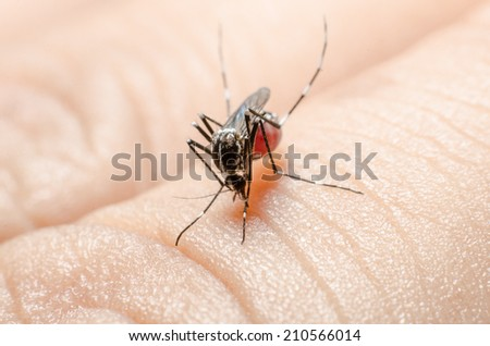 Macro of mosquito (Culex pipiens) ready to sting isolated on human hand skin. - stock photo