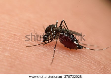 Macro of mosquito sucking blood close up on the human skin. Mosquito is carrier of Malaria, Encephalitis, Dengue and Zika virus - stock photo