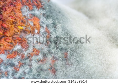 Macro of mould taking over a strawberry.   - stock photo