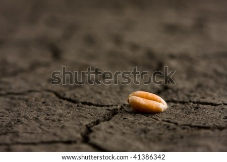 Macro of one gold corn on dehydrated ground - stock photo