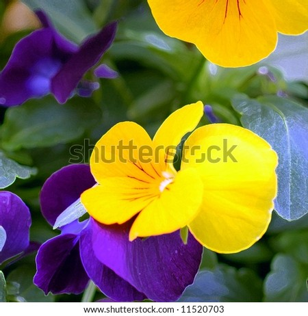 Macro Of Pansies