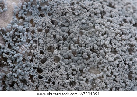 Macro of penicillium species of mould growing on a lemon  causing it to decay. A dramatic fungal landscape. - stock photo