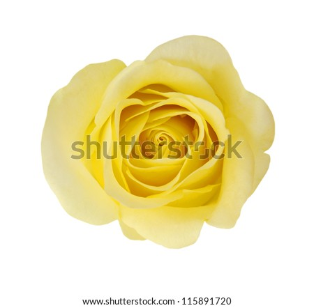 Macro of Perfect Yellow Rose Flow - stock photo