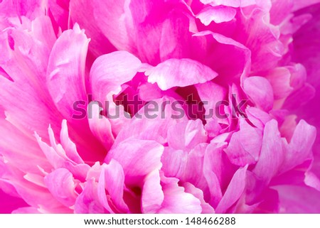 macro of pink peony leaves