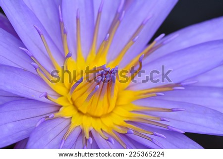 macro of  pink yellow water lily for abstract background  ; selective focus at pollen group - stock photo