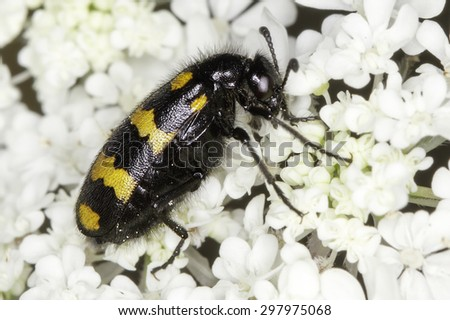 Macro of profile Mylabris variabilis beetle feeding on  flower - stock photo