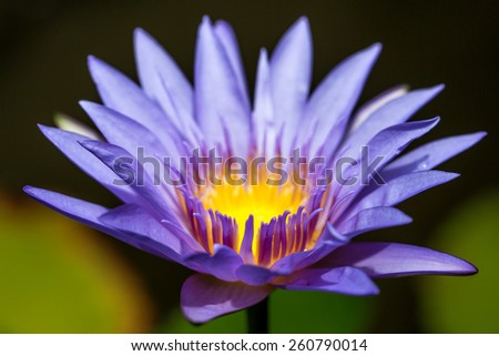 Macro of purple lotus flower with yellow center with black and green background - stock photo
