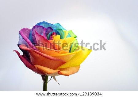 Macro of rainbow rose flower and multi colored petals - stock photo