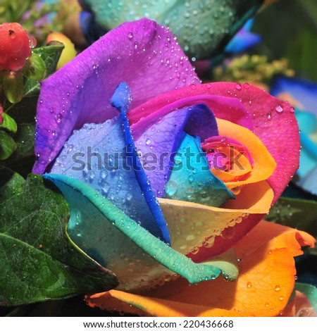 Macro of rainbow rose flower and multi colored petals for Multi colored rose petals