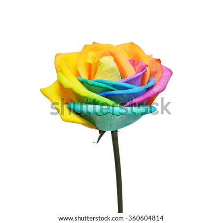 Macro of rainbow rose flower and multi colors petals. Isolated on white background. - stock photo