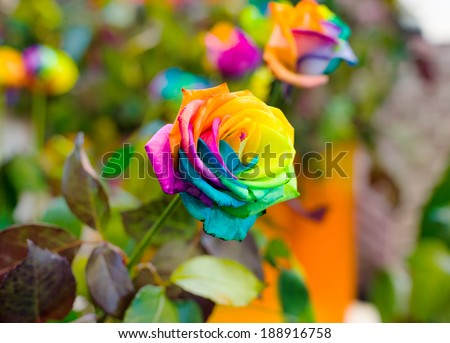 Macro of rainbow roses with multi colored petals, shallow DOF. - stock photo