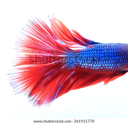 Macro of Red and Blue Siamese fighting fish, Betta Splendens isolated on white background. - stock photo