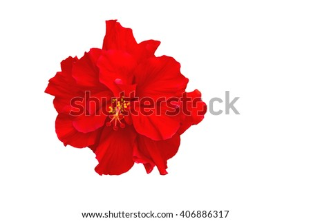 Macro of red China Rose flower (Chinese hibiscus, Hibiscus rosa-sinensis , Hawaiian hibiscus , shoe flower ) isolated on white background.Saved with clipping path